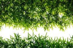 Back light bamboo leaves. Stock Image