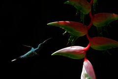 Back light with bird in fly. Art view of hummingbird with flower. Hummingbird Green Hermit flying next to beautiful red flower wit Stock Photo