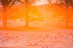 Back light at the field with cranes. Cranes in back light in sunrise at a field in spring Stock Image