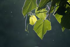Back light of Paulownia leaves stock image