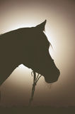 Back light portrait of arabian horse Stock Photography