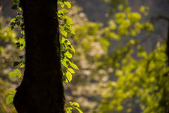 Back light of tree with green leafs and bokeh background Royalty Free Stock Photography