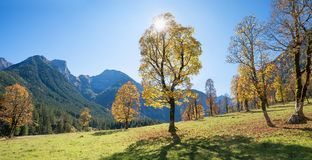 Back lighted maple trees in karwendel mountain landscape Stock Images