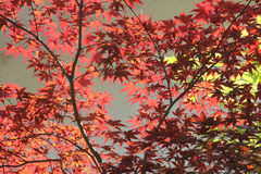 Back lighted red maple leaves Royalty Free Stock Images