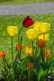 Back lighted tulips in the park. Group of back lighted tulip flowers in the park Stock Image