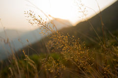 Back lighted yellow grass Royalty Free Stock Images