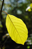 Back Lighting on Leaf Royalty Free Stock Photography