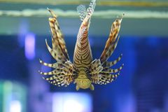 Back of lionfish Royalty Free Stock Photography