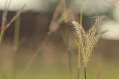 Back lit Abstract Closeup Lalang grass flower Royalty Free Stock Images