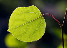 Back Lit Aspen Leaf Stock Image
