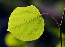 Back Lit Aspen Leaf. A solitary Aspen leaf showing great detail of its veins Stock Image