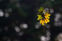 Back-lit autumn maple leaves with bokeh royalty free stock image
