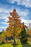 Back lit Autumn tree in a park Royalty Free Stock Photos