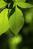 Back-lit Beech Leaves Stock Photography
