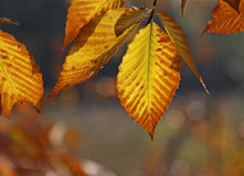 Back lit Beech Tree Leaves Royalty Free Stock Photography