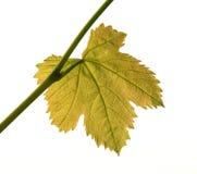 Back-lit Blad van de Wijnstok Stock Afbeeldingen