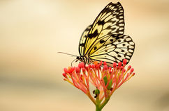 Back lit butterfly on a red flower. Macro photography Stock Photography