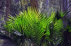 Back lit fan-shaped Cabbage Tree Palm Leaves. (Livistona australis) in rainforest in the Royal National Park, New South Wales, Australia Royalty Free Stock Photography