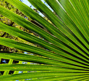 Back lit fan-shaped Cabbage Tree Palm Leaves Royalty Free Stock Images