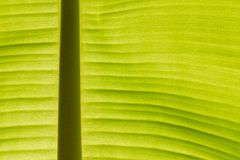 Back lit fresh green banana leaf Royalty Free Stock Images