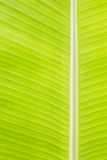 Back lit fresh green banana leaf Stock Image
