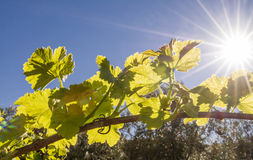 Back lit grapevine Stock Photo