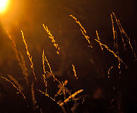 Back lit grass Royalty Free Stock Photography