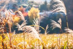 Back lit grasses on a bokeh autumn background. Back lit grasses in depth of field in a magical setting on autumn trees background in Fujikawaguchiko, Japan royalty free stock photos