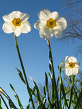 Back-lit Jonquils from below, Spring. Tall jonquils (Narcissus jonquilla) on a spring afternoon, sun-lit from behind-- Eastern Pennsylvania Royalty Free Stock Image
