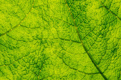Back Lit Leaf Background / Texture Royalty Free Stock Image