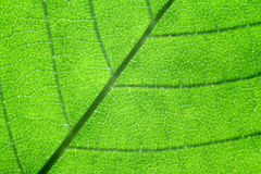 Back-lit leaf detail Stock Photography