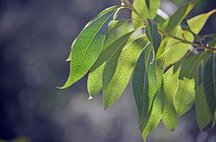 Back lit leaves of Australian Woody Pear Stock Images