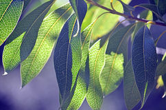 Back lit leaves of the Australian Woody Pear. Back lit leaves of the Australian native Protea, the Woody Pear, Xylomelum pyriforme, showing prominent venation Royalty Free Stock Photography