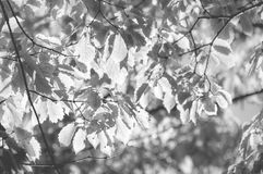 Back lit Leaves in Black and White. Leaves patterns back lit close to sunset in black and white at Fugikawaguchiko on the side of the scenic five lakes in the royalty free stock photography