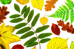 Back Lit Leaves Royalty Free Stock Images