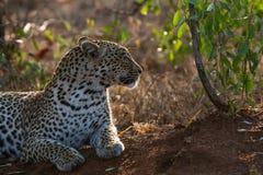 Back lit leopard stock photography