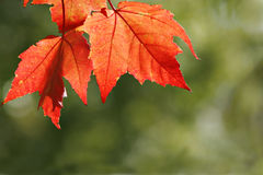 Back Lit Maple Leaf. Back Lit Red Maple Leafs against green background Royalty Free Stock Images