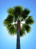 Back Lit Palm Tree. Against blue sky stock photography