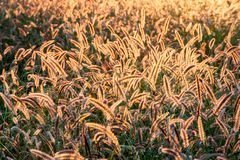 Field of back lit fox tail perennial grass glowing from sunlight royalty free stock photo