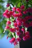 Back lit pink Zygocactus flowers of Hatiora gaertneri stock image