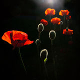 Back lit poppy buds Royalty Free Stock Image