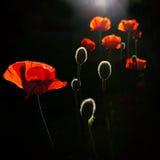 Back lit poppy buds Royalty Free Stock Image