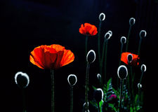 Back lit red poppy flowers Stock Photography