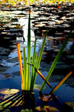 Back-lit Reeds Stock Photography