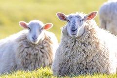 Back lit sheep lying down facing camera Stock Photo