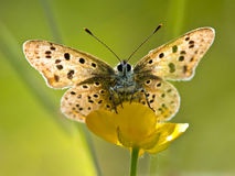 Back Lit Sooty copper Butterfly Stock Image