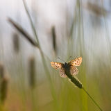 Back Lit Sooty copper Butterfly. Sun Shines through Wings of Sooty Copper Butterfly (Lycaena tityrus) in a Field of Grass Stock Photography