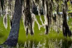 Back-lit Spainish Moss Hanging in the Swampy Bayou. Back-lit Spanish Moss Hanging from a tree in the Swampy Bayou Royalty Free Stock Photo