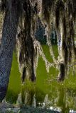 Back-lit Spainish Moss Hanging in the Swampy Bayou-1. Back-lit Spainish Moss Hanging from tree in the Swampy Bayou Stock Photos