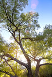 Back-lit Tree. Large Back-lit Tree in Park with many branches and sun flare Stock Photo